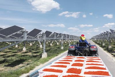 Empleado transportando bayas de goji en el campo solar (PRNewsfoto/Huawei)
