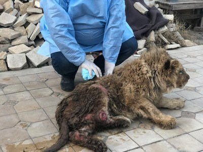 Simba, el cachorro de león, sufrió abusos y estuvo a punto de morir cuando fue rescatado por activistas de los derechos de los animales en Rusia. Su cuerpo estaba cubierto de heridas y sus piernas estaban quebradas.