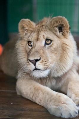 Después de recibir atención médica en Rusia, Simba se ha recuperado y ahora es un hermoso y orgulloso león que será repatriado a África para vivir en su hábitat natural. Todos los costos están cubiertos por Russian Copper Company.